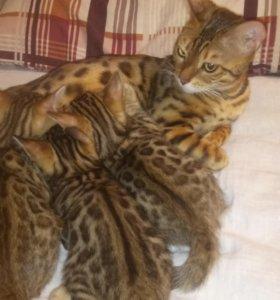 Бенгальские леопардовые коты