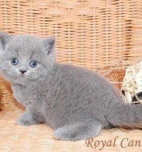 Британские котята, голубые и лиловые