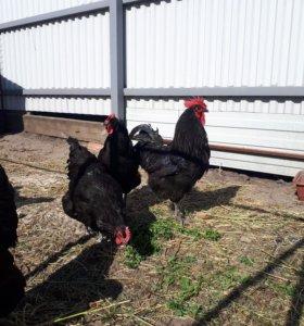 Инкубационное яйцо порода Джерсийский гигант черны
