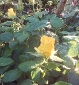 Саженцы роз.