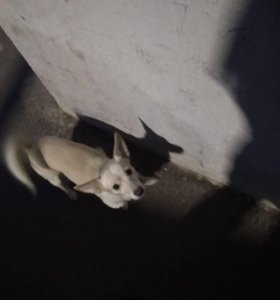Собака ищет кобеля для вязки