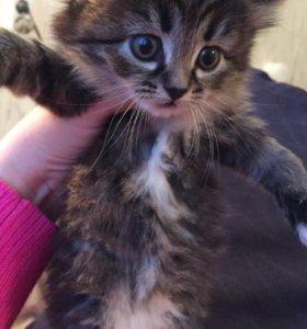 3 котёнка от сибирской кошечки. Отдам в добрые рук