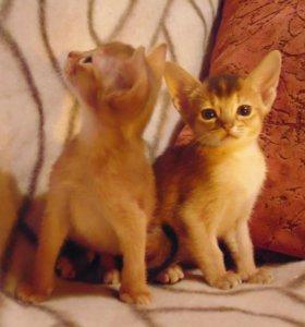 Абиссинксие котята