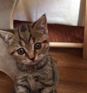 СРОЧНО!!! Шотландские котята скоттиш страйт