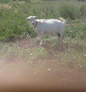 Коза дойная 3 окотом