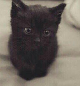 Британский чёрный котёнок СРОЧНО