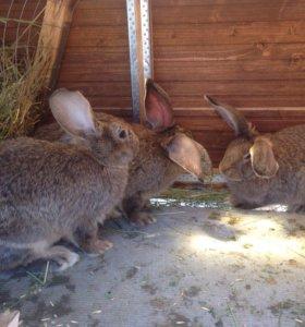Кролики помесь великана с бараном