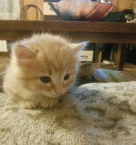 Котенок мальчик, рыжий, сибирская крупная