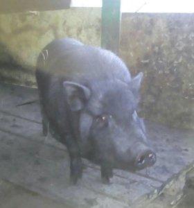 Вьетнамские  свиньи ,свиноматки и поросята