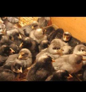 Цыплята чешский доминант, возраст 1 месяц