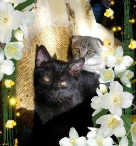 Милые котята шотландцы в дар