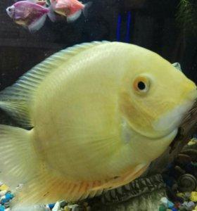 Рыбка Северум