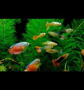Аквариумная рыбка Гуппи.