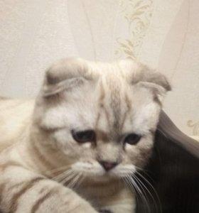 Шотландские кото-детки