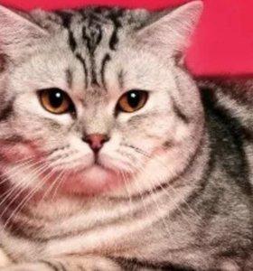 Британский кот. Два года.