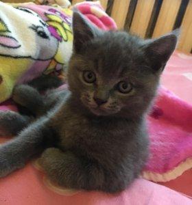 Продаётся Британский котик