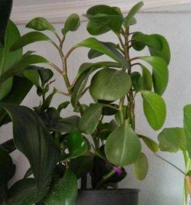 Пепиромия взрослое растение
