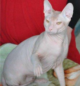 Сфинкс кот для вязки