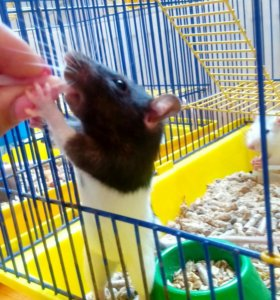 Крыски в добрые руки