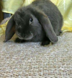 Кролик, карликовый баран