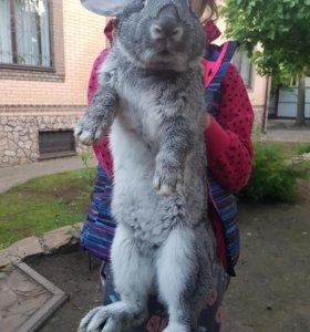 Кролики мясных пород для разведения