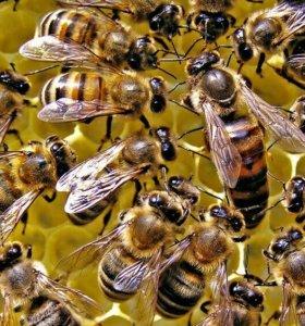 Пчелосемьи с ульями.