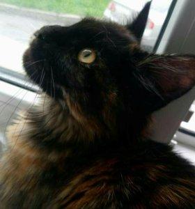 Кошечка мейн-кун