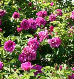 Парковая роза( ругоза)