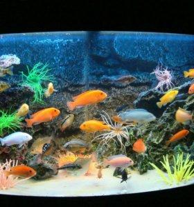 Рыбки. Цихлиды