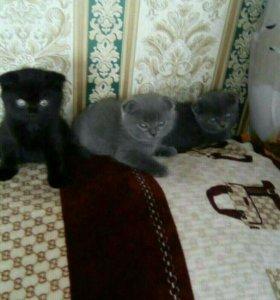 Шотландский котик и кошечка
