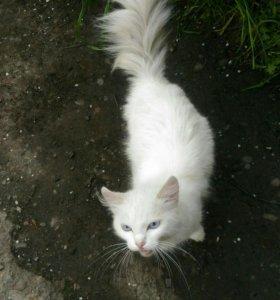 Белый голубоглазый пушистый кошка