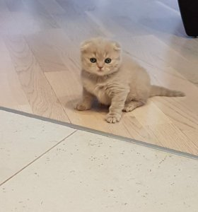 Котёнок британец (мальчик)