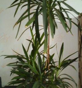 Пальма с ростками