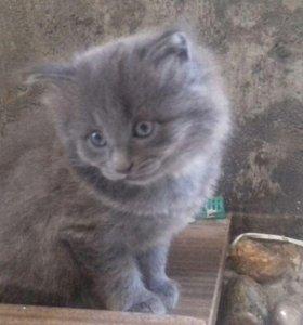 Дымчатый котёнок