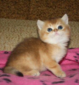 Британский золотой котёнок в разведение!
