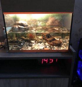 Черепаха красноухая и террариум
