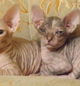 продам 2 котят