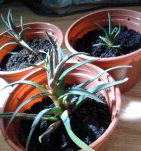 комнатное растение Алоэ остистое
