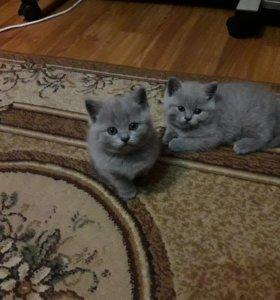 Шотдандские вислоухие котята