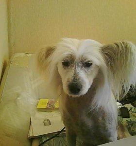 Продам китайскую хохлатую собаку доки РКФ СРОЧНО!