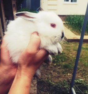 Колифорнийские кролики