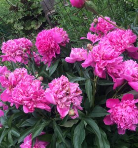 Многолетние цветы на дому.