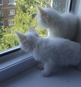 БЕСПЛАТНО  Белые котята