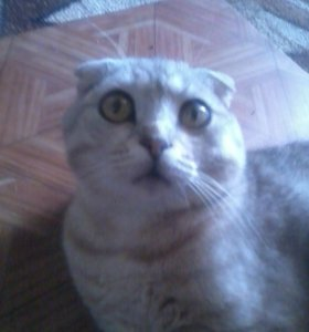 отдам в добрые руки Шотландского вислоухого кота