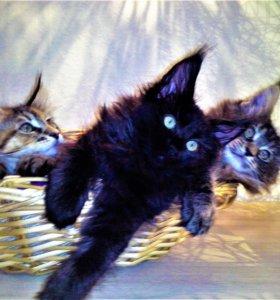 МЕЙН-КУНЫ (котята - 5 мес.) ТИТУЛОВАННЫЕ