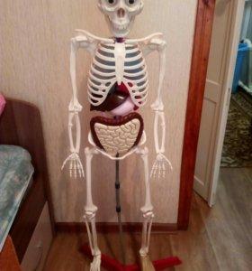 Скелет Артем