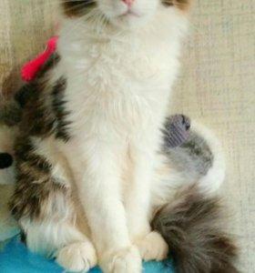 Котята Мейн-Кун( читайте текст)