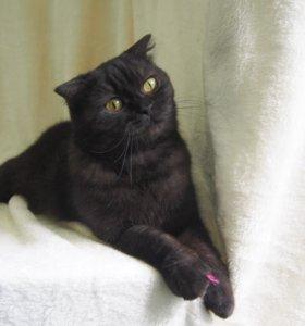 Шотландская вислоухая черная кошечка Фиби, 1 год