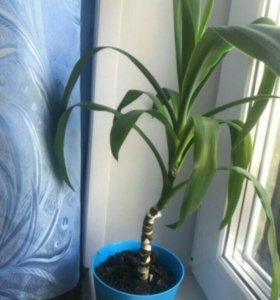 Цветок.пальма. Юкка.