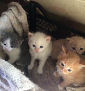 Котята для ловли мышей